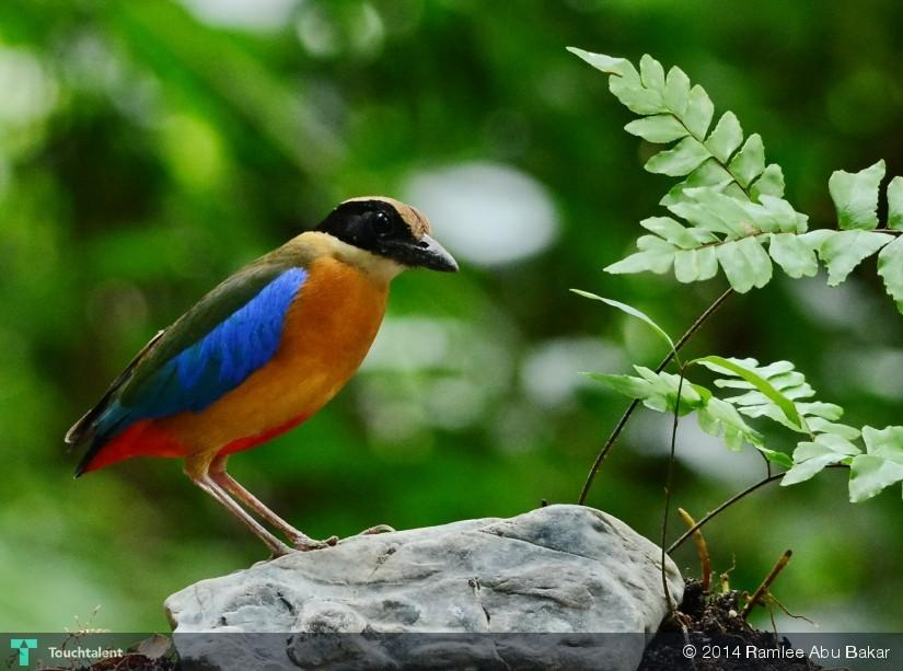 Blue Wing Pitta in Photography