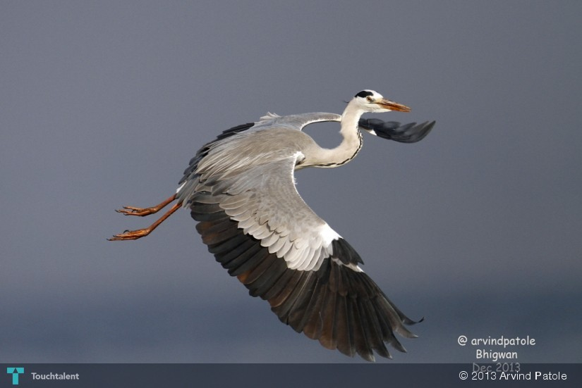 Grey Heron, Wildlife, Pune, Arvind Patole in Photography